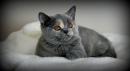 Zdjęcie 1 - MARVIL*PL - hodowla kotów brytyjskich - Ostrołęka