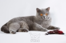 Zdjęcie 10 - MARVIL*PL - hodowla kotów brytyjskich - Ostrołęka