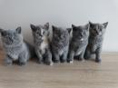 Zdjęcie 12 - MARVIL*PL - hodowla kotów brytyjskich - Ostrołęka