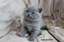 Zdjęcie 6 - MARVIL*PL - hodowla kotów brytyjskich - Ostrołęka