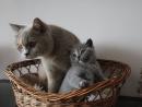 Zdjęcie 9 - MARVIL*PL - hodowla kotów brytyjskich - Ostrołęka