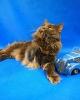 Zdjęcie 6 - ELMOWO*PL Domowa Hodowla Kotów Rasy Main Coon