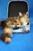 Zdjęcie 1 - ELMOWO*PL Domowa Hodowla Kotów Rasy Main Coon