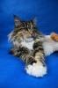 Zdjęcie 5 - ELMOWO*PL Domowa Hodowla Kotów Rasy Main Coon