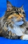 LOGO - ELMOWO*PL Domowa Hodowla Kotów Rasy Main Coon