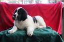 Zdjęcie 18 - Zakątek BERNA - hodowla Berneńskiego Psa Pasterskiego i Landseera