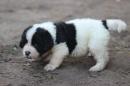 Zdjęcie 3 - Zakątek BERNA - hodowla Berneńskiego Psa Pasterskiego i Landseera