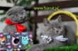 LOGO - Hodowla Fur Cat De La Rancho