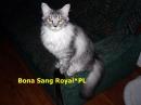Zdjęcie 8 - Hodowla Sang Royal PL