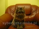 Zdjęcie 18 - SYBERYJSKA AMBA*PL - hodowla kotów SYBERYJSKICH