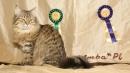 Zdjęcie 12 - SYBERYJSKA AMBA*PL - hodowla kotów SYBERYJSKICH