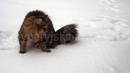 Zdjęcie 9 - SYBERYJSKA AMBA*PL - hodowla kotów SYBERYJSKICH