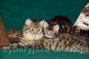 Zdjęcie 24 - SYBERYJSKA AMBA*PL - hodowla kotów SYBERYJSKICH
