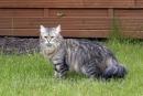 Zdjęcie 13 - SYBERYJSKA AMBA*PL - hodowla kotów SYBERYJSKICH
