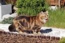 Zdjęcie 2 - SYBERYJSKA AMBA*PL - hodowla kotów SYBERYJSKICH