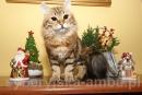 Zdjęcie 5 - SYBERYJSKA AMBA*PL - hodowla kotów SYBERYJSKICH