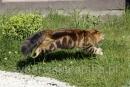 Zdjęcie 1 - SYBERYJSKA AMBA*PL - hodowla kotów SYBERYJSKICH