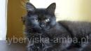 Zdjęcie 3 - SYBERYJSKA AMBA*PL - hodowla kotów SYBERYJSKICH
