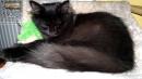 Zdjęcie 14 - SYBERYJSKA AMBA*PL - hodowla kotów SYBERYJSKICH