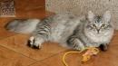 Zdjęcie 21 - SYBERYJSKA AMBA*PL - hodowla kotów SYBERYJSKICH