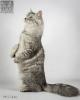 Zdjęcie 8 - SYBERYJSKA AMBA*PL - hodowla kotów SYBERYJSKICH