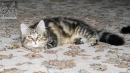 Zdjęcie 23 - SYBERYJSKA AMBA*PL - hodowla kotów SYBERYJSKICH