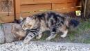 Zdjęcie 11 - SYBERYJSKA AMBA*PL - hodowla kotów SYBERYJSKICH