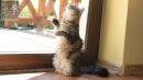 Zdjęcie 16 - SYBERYJSKA AMBA*PL - hodowla kotów SYBERYJSKICH