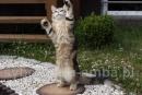Zdjęcie 6 - SYBERYJSKA AMBA*PL - hodowla kotów SYBERYJSKICH