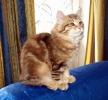 Zdjęcie 10 - SYBERYJSKA AMBA*PL - hodowla kotów SYBERYJSKICH