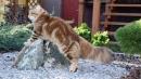 Zdjęcie 19 - SYBERYJSKA AMBA*PL - hodowla kotów SYBERYJSKICH