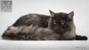 Zdjęcie 22 - SYBERYJSKA AMBA*PL - hodowla kotów SYBERYJSKICH