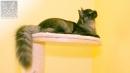 Zdjęcie 20 - SYBERYJSKA AMBA*PL - hodowla kotów SYBERYJSKICH