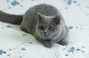 Zdjęcie 4 - MARVIL*PL - hodowla kotów brytyjskich - Ostrołęka