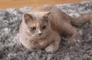 Zdjęcie 5 - MARVIL*PL - hodowla kotów brytyjskich - Ostrołęka