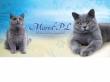 LOGO - MARVIL*PL - hodowla kotów brytyjskich - Ostrołęka
