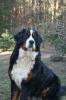 Zdjęcie 2 - Zakątek BERNA - hodowla Berneńskiego Psa Pasterskiego i Landseera