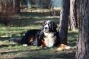 Zdjęcie 21 - Zakątek BERNA - hodowla Berneńskiego Psa Pasterskiego i Landseera